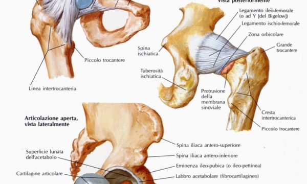 Articolazione dell'anca